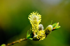 Pussy willow branches Stock Photos