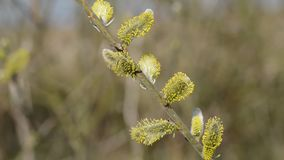 willow branches stock video footage