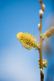 Pussy willow branches Royalty Free Stock Photography