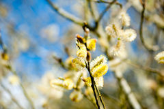 Willow branches. Spring willow branches and blue sky Royalty Free Stock Photos