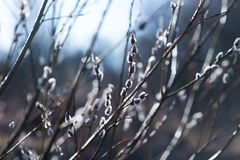 Pussy willow, branches at spring. Nature Stock Photography