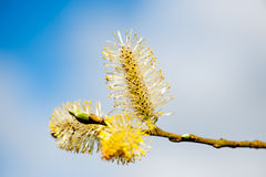 Pussy willow branches Royalty Free Stock Photos