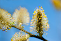 Pussy willow branches Stock Images