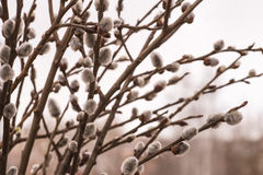 Willow branches. With white catkins stock photography