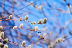Pussy-willow branches with white catkins on a blue sky Royalty Free Stock Photo
