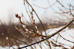 Pussy willow branches with winter background. Pussy willow branches and winter nature background Stock Images