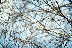 Pussy willow branches. With young white catkins Royalty Free Stock Photography