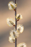 Pussy willow buds Stock Images
