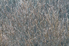 Pussy-willow royalty free stock photo