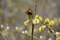 Pussy willow and butterfly Stock Image