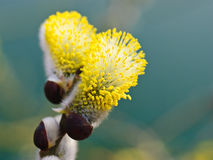 Pussy willow catkin Stock Image