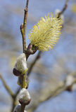 Pussy Willow Catkin. Goat Willow or Pussy Willow - Salix caprea Royalty Free Stock Photos
