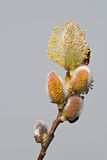 Pussy willow catkins Royalty Free Stock Image