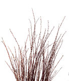 Pussy willow catkins Stock Images