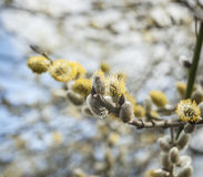 Pussy Willow Catkins Stock Photography
