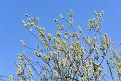Pussy Willow with Catkins Stock Images