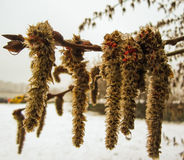 Pussy-willow catkins Stock Photos