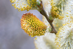Pussy willow catkins Royalty Free Stock Images