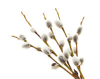Willow catkins. On a white background Stock Images