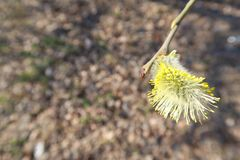 Pussy willow close up branch with fluffy buds blossoming in early spring royalty free stock images