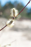 Pussy willow. Close up photo of pussy willow Stock Photography