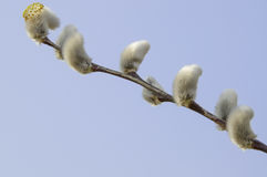 Pussy Willow Early in the Spring Royalty Free Stock Photography
