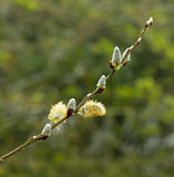 Pussy Willow Royalty Free Stock Photography