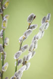 Pussy willow flower branch Stock Images