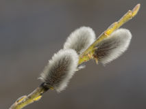 Pussy willow flower branch Stock Photo