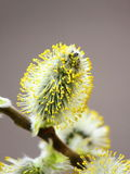 Pussy willow have blossomed Royalty Free Stock Photo