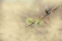 Pussy willow isolated Stock Photo