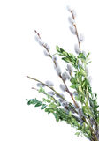 Pussy-willow. Isolated on white background Royalty Free Stock Photography
