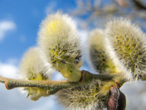 Pussy willow macro Royalty Free Stock Images