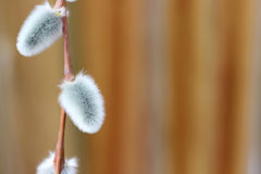 Pussy willow Royalty Free Stock Image