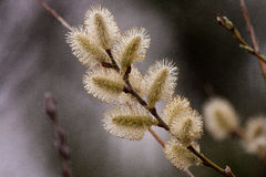 Pussy Willow. Natural scenery of a Pussy Willow tree Royalty Free Stock Photos