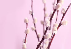 Willow. And pink background royalty free stock photos