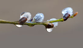 Pussy willow with rain drops. Close up of branch of pussy willow with rain drops in early spring Stock Photography