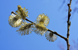 Pussy-Willow (Salix) branch. Growing of the spring Royalty Free Stock Photography