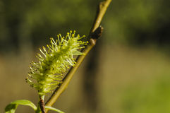 Pussy-willow (Salix) branch Royalty Free Stock Images