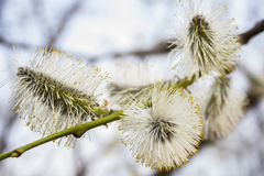 Pussy willow Stock Images