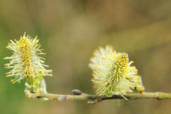 Pussy willow (Salix caprea, male catkins). Laden with pollen; close-up, symbol of easter Royalty Free Stock Photography