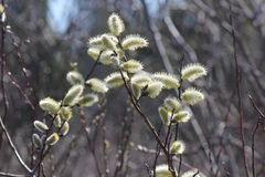 Pussy Willow Salix discolor. Catkins budding in early Spring along a roadside ditch in South-Eastern Ontario Royalty Free Stock Images