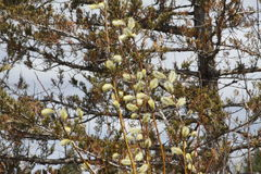 Pussy Willow (Salix discolor) Stock Photography