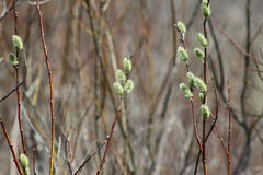 Pussy Willow (Salix discolor). Pussy Willow (Catkins) on the edge of a watery ditch. The American pussy willow (Salix discolor), native to northern North America Stock Photo