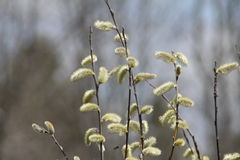 Pussy Willow (Salix discolor). Pussy Willow (Catkins) growing near a watery ditch. The American pussy willow (Salix discolor), native to northern North America Royalty Free Stock Photo