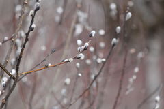 Pussy Willow Salix discolor-Late Winter. Pussy Willow Salix discolor catkins buddding in Late Winter along a roadside ditch in South-Eastern Ontario Stock Photography