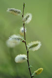 Pussy-willow [sallow] branch Royalty Free Stock Photography