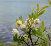 Pussy willow in spring Stock Images