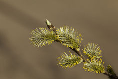 Pussy-willow in the spring Stock Photography