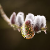 Pussy Willow - Spring - Salix Royalty Free Stock Images
